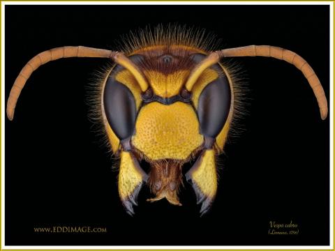 Vespa-crabro-1-Linnaeus-1758