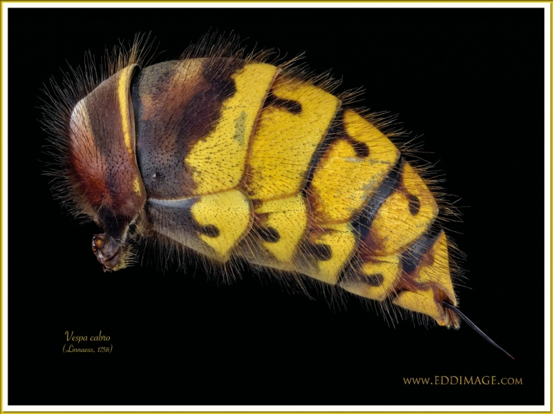 Vespa-cabro-2-Linnaeus-1758