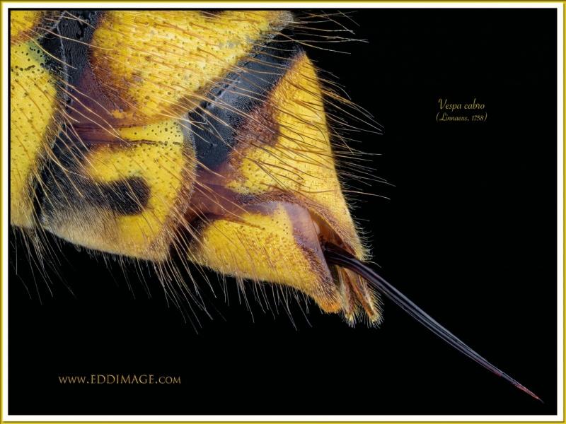 Vespa-cabro-3-Linnaeus-1758
