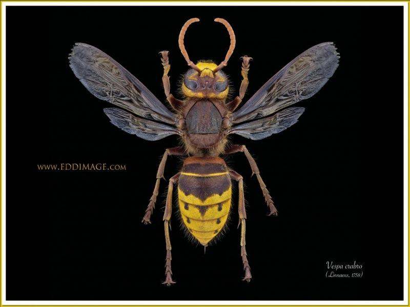 Vespa-crabro-12-Linnaeus-1758