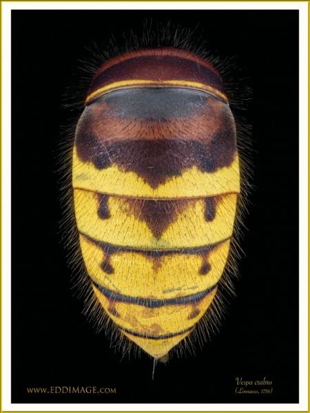 Vespa-crabro-7-Linnaeus-1758
