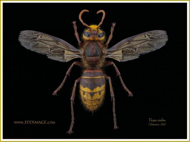 Vespa-crabro-9-Linnaeus-1758