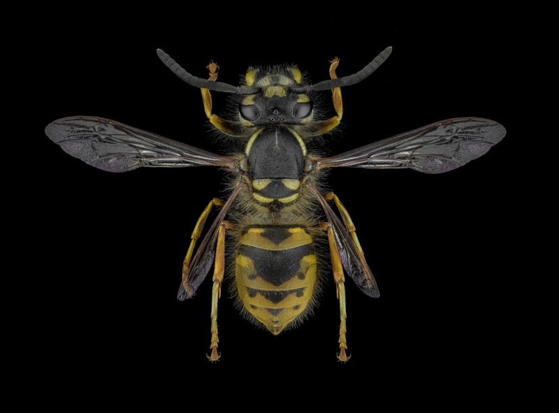 common-wasp-Vespula-vulgaris-UK-3