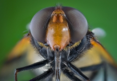 Great Pied Hoverfly [Volucella pellucens]-6