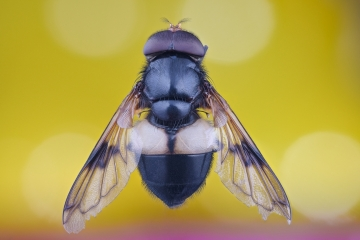 Great Pied Hoverfly [Volucella pellucens]