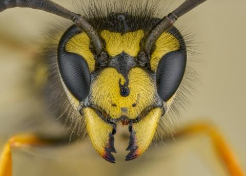 German Wasp - [Vespula germanica] UK