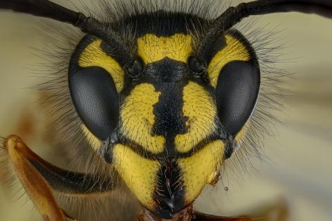 common wasp - [Vespula vulgaris]