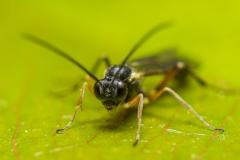 spider wasp (Auplopus carbonarius)-2
