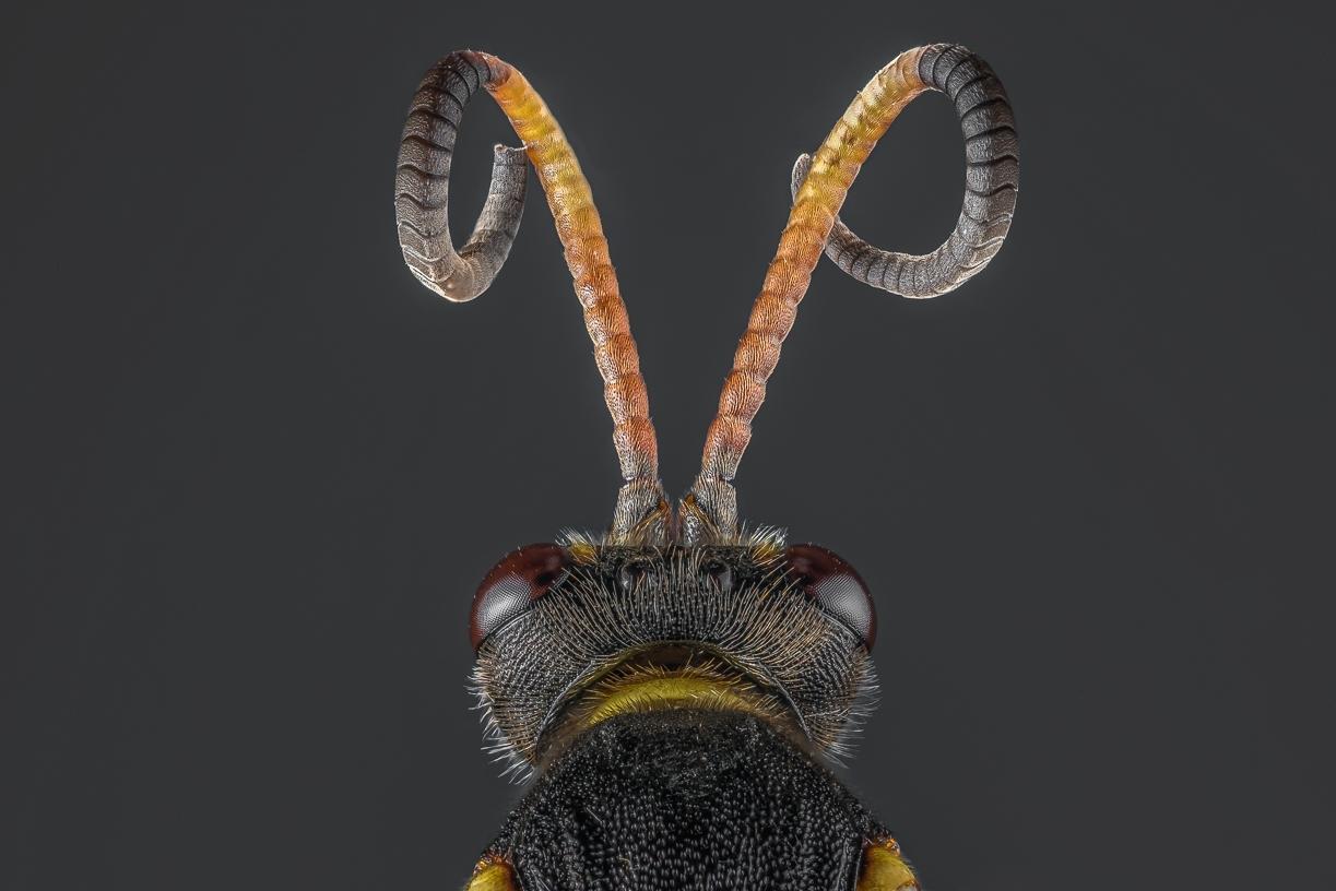 20170413- European Paper Wasp-2