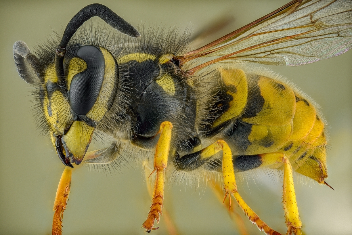 German Wasp - [Vespula germanica] UK-