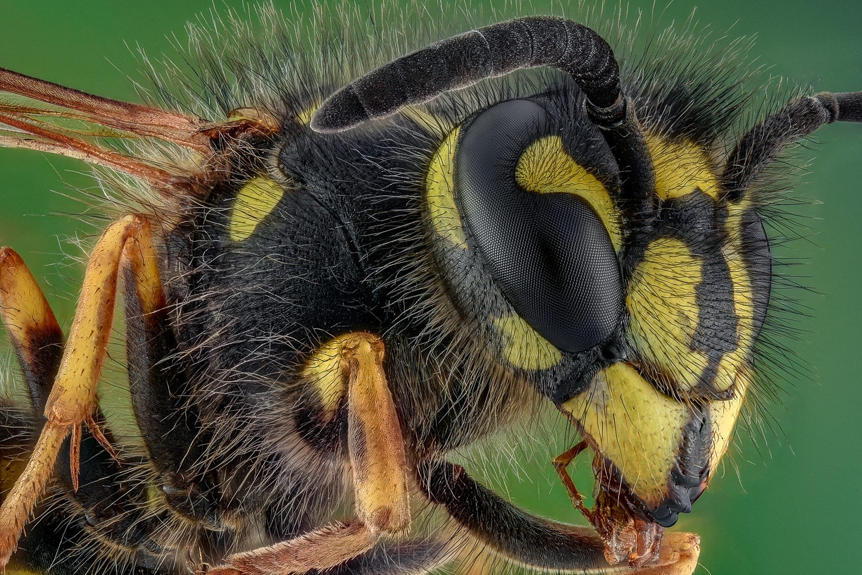 common wasp - [Vespula vulgaris]
