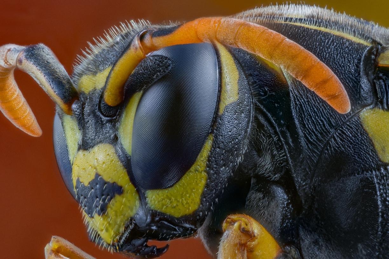 paper wasp - [Polistes dominula]-10