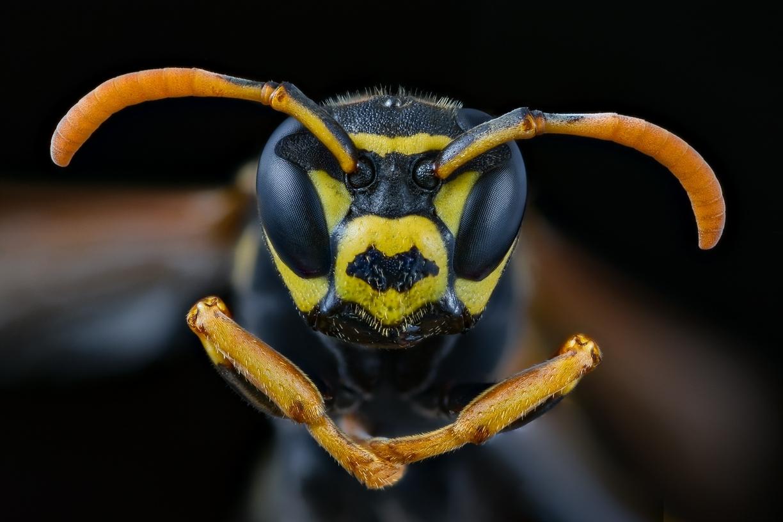 paper wasp - [Polistes dominula]-11