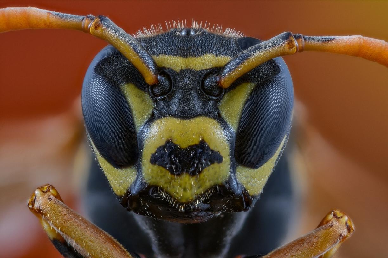 paper wasp - [Polistes dominula]-13