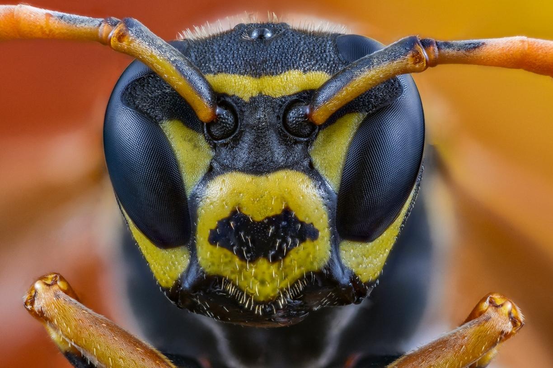 paper wasp - [Polistes dominula]-9