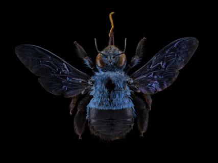 Xylocopa-caerulea-Fabricius-1804-SE-Asia
