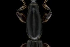 Zetophloeus-pugionatus-Madagascar-Madagascar